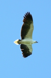 White-bellied sea-eagle. Photo: Andrew McDougall, Queensland Government.