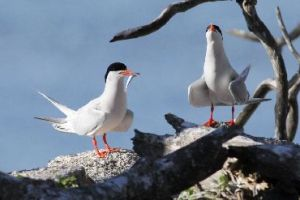Roseate terns bring their fresh catch back to the island for dinner.
