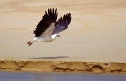 White-bellied sea-eagle. Photo: Queensland Government.