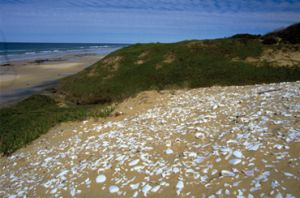 If too many shells of one species were present in middens, that species was not hunted, allowing it to increase in numbers again. Photo: Ian Hutton
