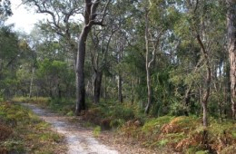 Woodland on the Banksia track. Photo: Ross Naumann, QPWS volunteer.