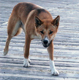 Dingoes that get their food from people may quickly become aggressive; don't have a dingo attack on your conscience. Photo: Queensland Government