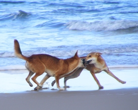 Natural pack behaviour includes attempts for dominance within the pack. Do not mistake this behaviour as 'play'- it is not a game. Photo: Queensland Government