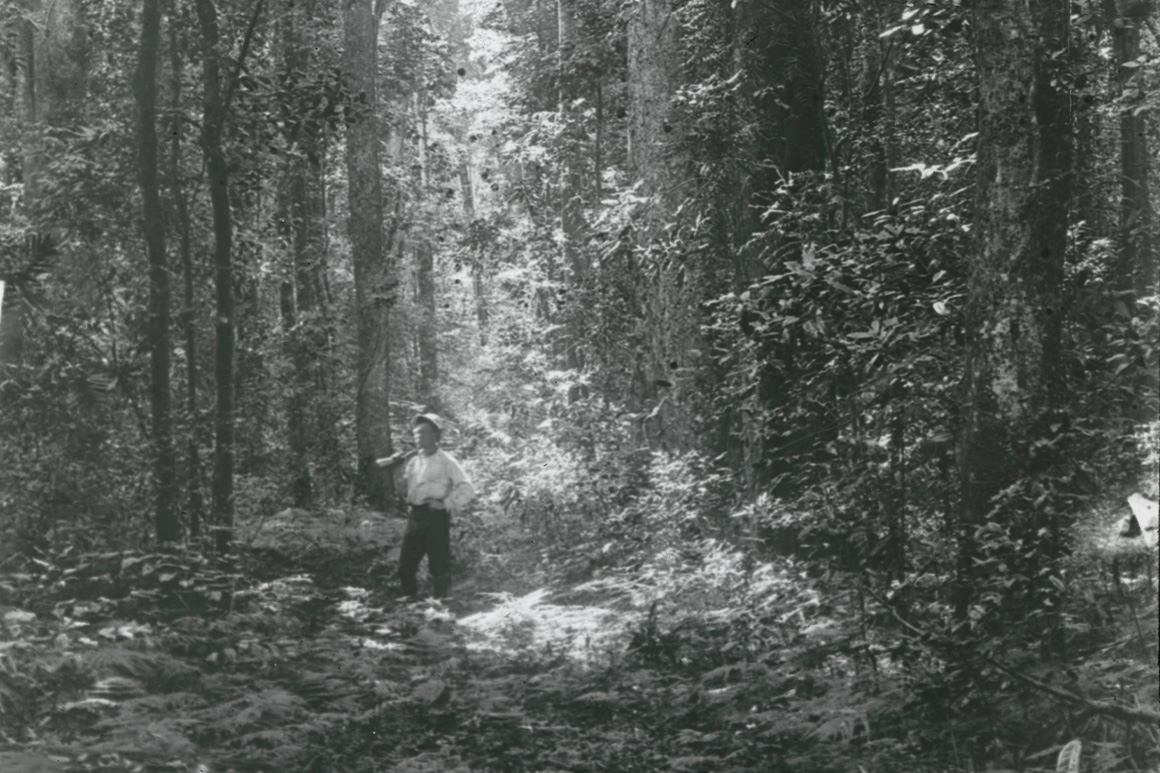 Old black and white image of a man standing on an overgrown track dwarfed by very tall trees.
