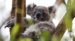 Daisy Hill Conservation Park protects habitat for threatened koalas.