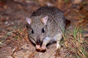Northern bettong.