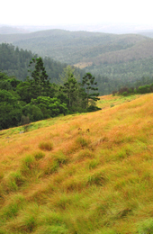 Natural grassland 'balds' on the Bunya Mountains provide habitat for many special plants and animals. Photo:Robert Ashdown