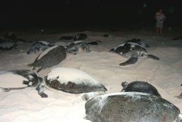 Female green turtles nesting. Photo: John Cornelius, Queensland Government