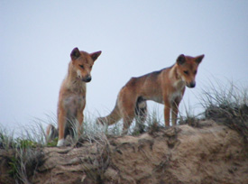 Dingoes normally sit quietly to survey their territory for prey; they may be closer than you think. Photo: Queensland Government
