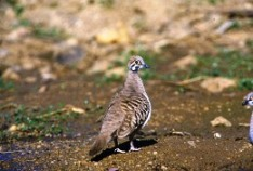 Squatter pigeons are often seen at White Mountains National Park. Photo: Brain Furby Collection.