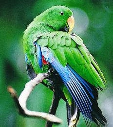 The park is a refuge and stronghold for birds also found in New Guinea, like the eclectus parrot (Wathaalamu).