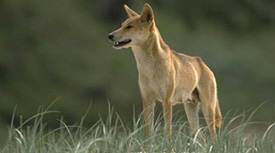 Adult female dingo Fraser Island.