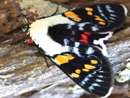 Joseph's coat moth Agarista agricola. Photo courtesy of Garry Sheehy.