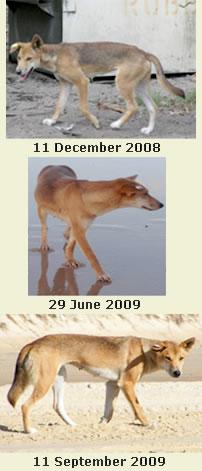 Photo profile of Fraser Island dingo female purple/yellow/yellow