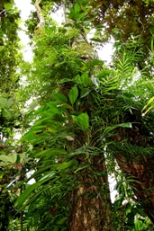 Rainforest trees are festooned with creepers and climbers. Photo: Greg Watson.