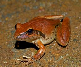 The varied habitats of the Conondales are home to a wide diversity of fauna. Eastern stony creek frog (Litoria wilcoxii). Photo: Robert Ashdown, Queensland Government.