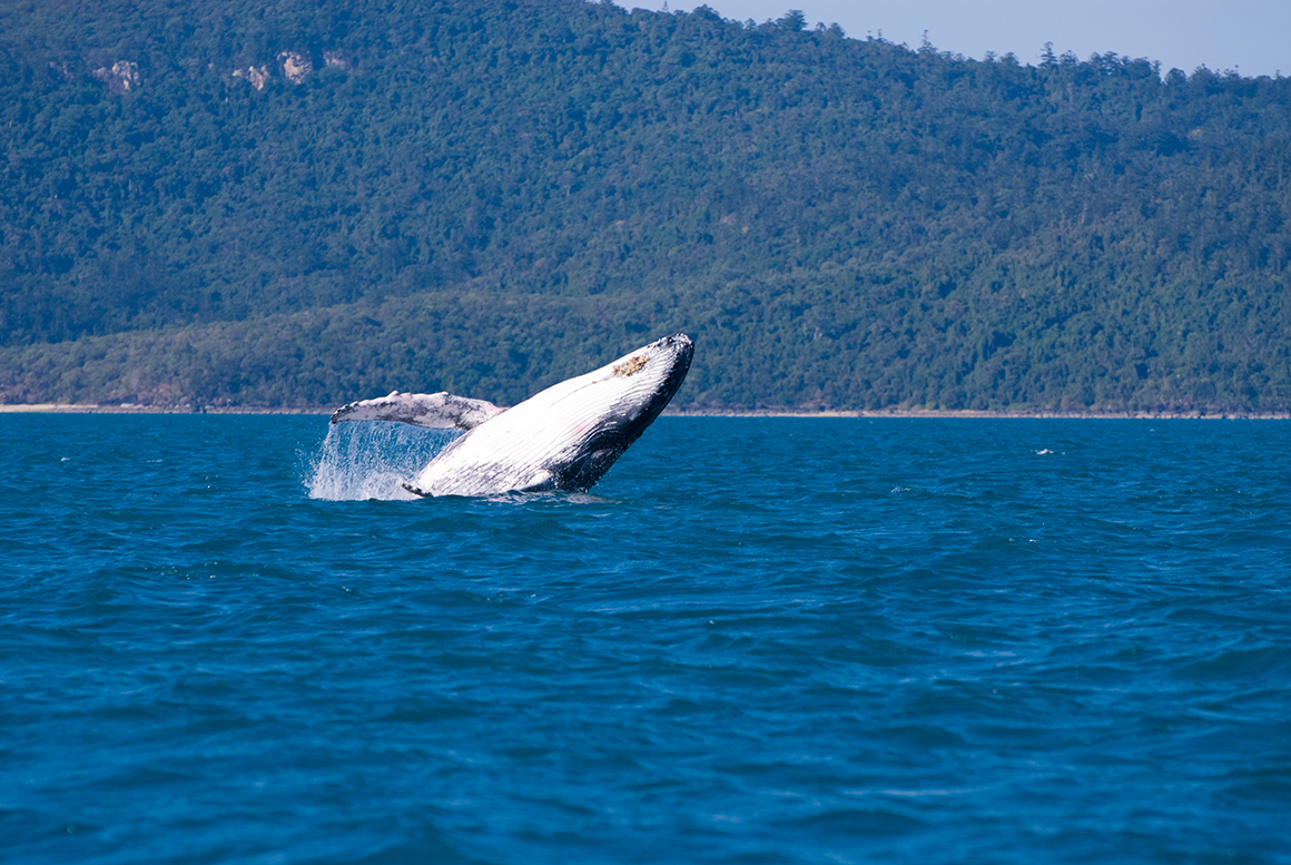 Huge whilte belly and pectoral fins of a humpback whale emerge from the blue ocean as it breaches against a backdrop of a forested slope of an island
