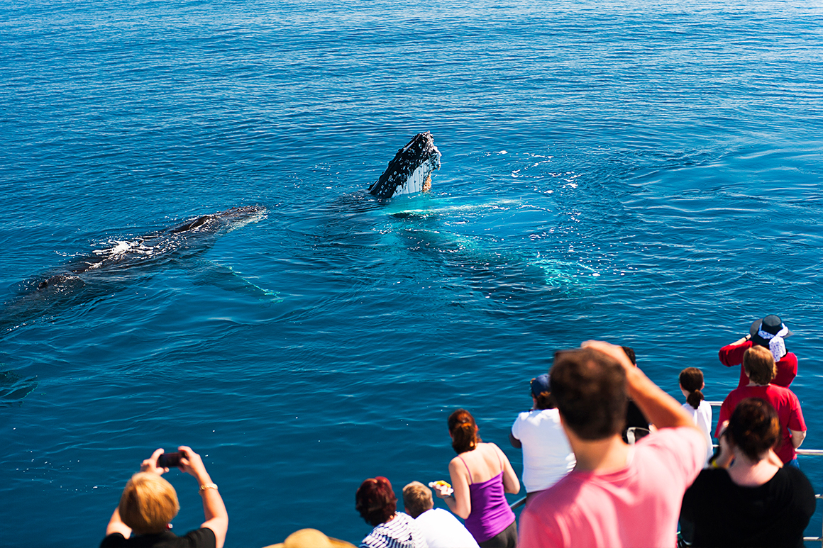 Two humpback whales break the surface of the blue ocean, close to a tour vessel, crowded with excited onlookers.