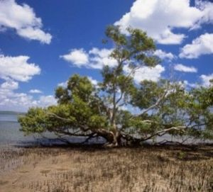 Mangroves along the west coast of K'gari are important in the marine food web of Great Sandy Marine Park.