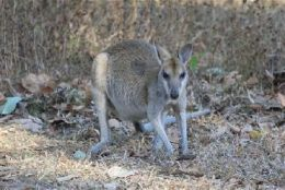 Park residents include agile wallabies. Photo: Queensland Government.