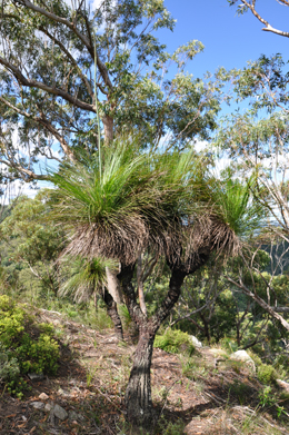 Grass trees grow near the summit.