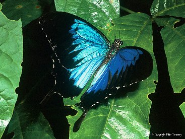 The Ulysses butterfly has become the symbol for Dunk Island. Photo: Mike Trenerry.