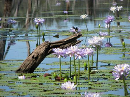 Willy wagtails snatch insects feeding on water lillies at Lake Nuga Nuga. Photo: Gareth Graham, Qld Govt.
