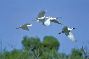 Spoonbills and other wading birds fly long distances to Currawinya when conditions are right. Photo: Karen Smith © Queensland Government
