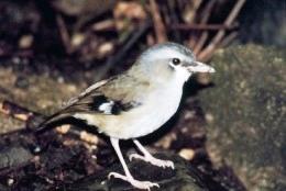 Grey-headed robin.