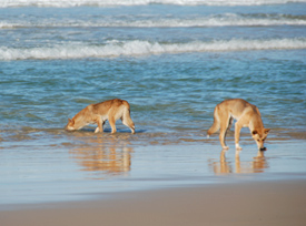 Fraser Island dingoes keep their population in balance with the available natural resources.