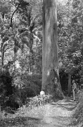Overseer Bill Morley and Ranger John Gresty near a giant Sydney blue gum Eucalyptus saligna in the 1950s. This magnificent tree still stands today.