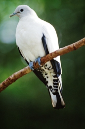 Image of a pied imperial-pigeon which migrate to Fitzroy Island from New Guinea.