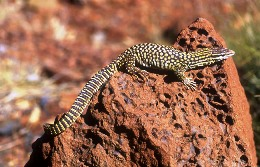 The ridge-tailed monitor is associated with the Wiliyan-ngurru Dreaming. Photo: Colin Dollery, Queensland Government.