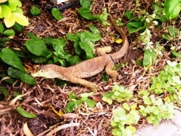 Yellow-spotted monitors are one of the largest predators on Fitzroy Island. Photo: Kym Edgerton.