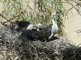 White-necked heron chicks Ardea pacifica. Photo: © Queensland Government