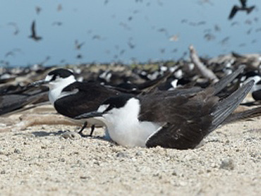 Sooty tern. Photo: Andrew McDougall, © Queensland Government.