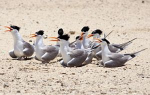 Lesser crested terns have orange bills. Photo: Andrew McDougall, © Queensland Government.