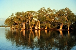 Mangroves in the Jumpinpin-Broadwater declared Fish Habitat Area