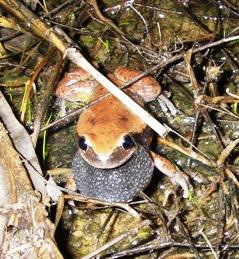 Listen for calling ruddy treefrogs. Photo: Tony Salisbury, Queensland Government