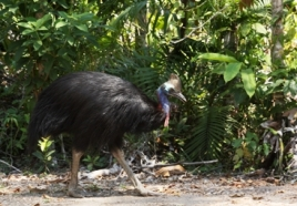 Cassowaries disappear into the rainforest backdrop of the Licuala day-use area.