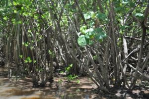 Mangroves in Cape Palmerston National Park. Photo courtesy of Querida Hutchinson.