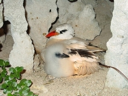 Vulnerable red-tailed tropicbird. Photo: John Cornelius, Queensland Government