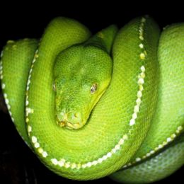 An adult green python (Paayi) at rest. The white spots break up the snake's outline. Photo: Paul Candlin, Queensland Government.