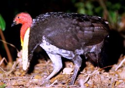 Australian brush-turkeys are commonly seen. Photo: Queensland Government.