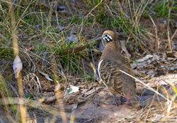 Squatter pigeons Geophaps scripta are well camouflaged in the grassy woodlands of Expedition National Park.