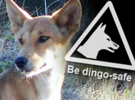 Dingo with warning sign 'be dingo-safe'