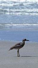 Beach curlew, Moreton Bay Marine Park