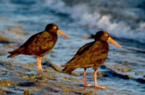Image of two sooty oystercatchers.