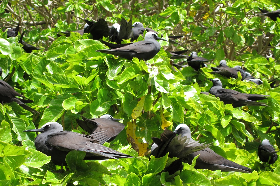 Noddies with their white heads, black eye markings, long black pointed beaks, grey breasts and smooth sooty-black wings, sit amongst bright green foliage of pisonia trees.