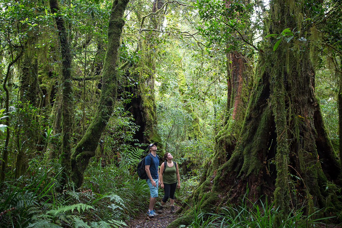 A couple stands on a walking track gazing up at a huge old moss-shrouded tree, surrounded by lush forest.